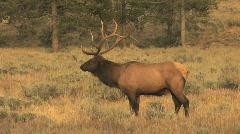 Bull Elk in the Rut Stock Footage