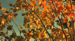 Tilt Up on Aspen Leaves Stock Footage