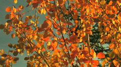 Aspen Leaves in Fall Stock Footage