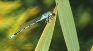 Stock Video Footage of Blue Dragonfly