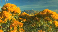 Grand Tetons with Yellow Flowers Zoom Out Stock Footage