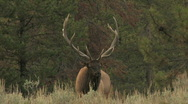 Stock Video Footage of Elk Bugling