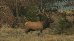 Bull Elk Walking into Timber Stock Footage