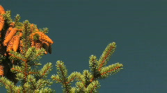 Fir Tree Pine Cones Pan Stock Footage