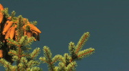 Fir Tree Pine Cones Pan Stock Footage