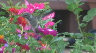 Stock Video Footage of Hummingbird mid