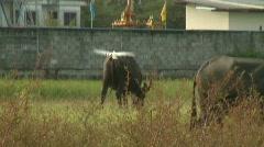 Buffalo grazing 11 plus bird Stock Footage