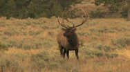 Bull Elk with Cows Stock Footage