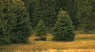 Cow Moose with Calf Stock Footage