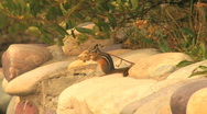 Chipmunk Nibbling on Plant Stock Footage