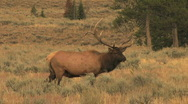 Stock Video Footage of Bull Elk Bugling in Fall