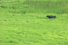 Water Buffalo Grazing Stock Footage