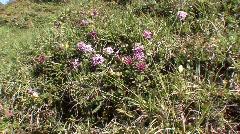 Alpine Mountain Flora 1 Stock Footage
