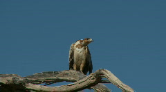 Tawny Eagle screeching Stock Footage