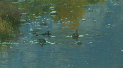 Ducks Swimming in Water Stock Footage