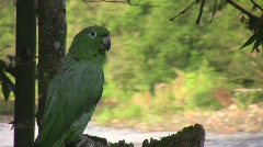 Stock Video Footage of Mealy Parrot (Amazona farinosa)