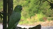 Mealy Parrot (Amazona farinosa)  Stock Footage