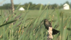 Female blackbird clutches cattail reed and calls out Stock Footage