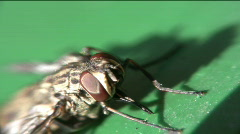 Fly cleaning itself Stock Footage