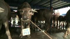 Buffalo racing contestants pan Stock Footage