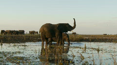 Elephant sensing Stock Footage