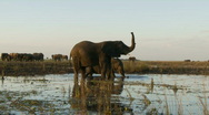 Stock Video Footage of Elephant sensing