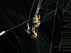 Spider wrapping cricket Stock Footage