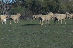 Sheep Grazing Stock Footage