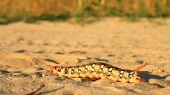 Rare unique caterpillar Stock Footage