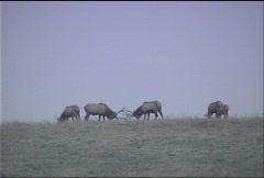 Pennsylvanian Elk 049 Stock Footage