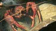 Stock Video Footage of Red Swamp Crayfish Hiding In Crevice