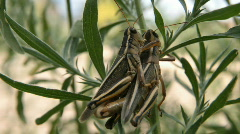 Grasshoppers mating P HD 1624 Stock Footage