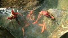 Red Swamp Crawfish in Defensive Posture Stock Footage