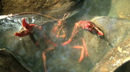 Stock Video Footage of Red Swamp Crawfish in Defensive Posture