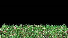 Growing Hedge (HD1080) Stock Footage