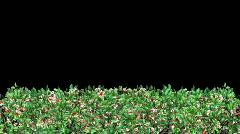 Growing Hedge (HD1080) Stock Footage