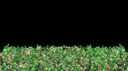Stock Video Footage of Growing Hedge (HD1080)