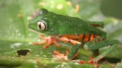 Barred Monkey Frog (Phyllomedusa tomopterna) Stock Footage