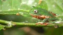 Barred Monkey Frog (Phyllomedusa tomopterna) - stock footage