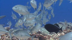 Silver fish stream over a coral reef towards camera Stock Footage