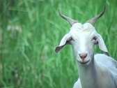 Stock Video Footage of White Goat