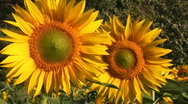 Stock Video Footage of two sunflowers