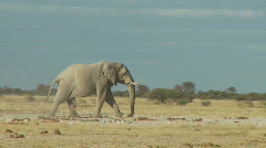 Alone elephant walking Stock Footage