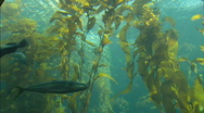 Stock Video Footage of KelpForestTop