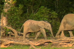 African Forest Elephants 2 Stock Footage