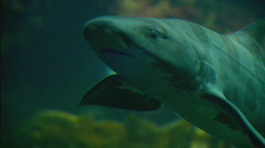 Leopardshark Stock Footage