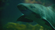 Stock Video Footage of Leopardshark