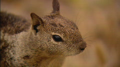 SquirrelXCU Stock Footage