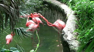 Stock Video Footage of fighting flamingos