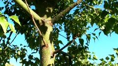 Tree pan up Stock Footage